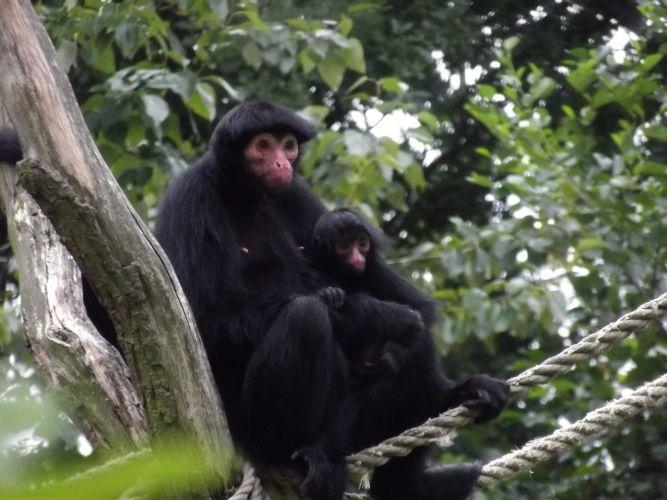 apenma met apenkind