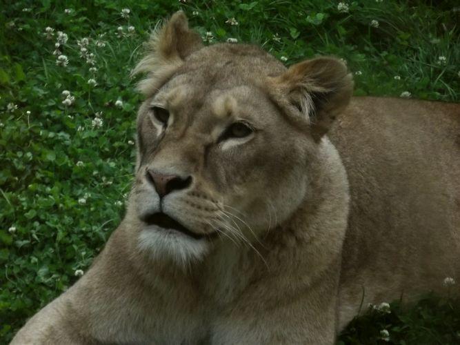 portret van een leeuwin